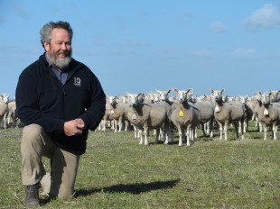 Lynton with ewes pre lambing