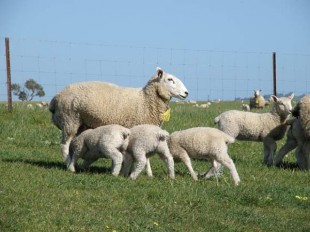 sept 14 ewes & lambs 001